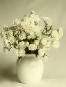 Rosa blanca ramificada